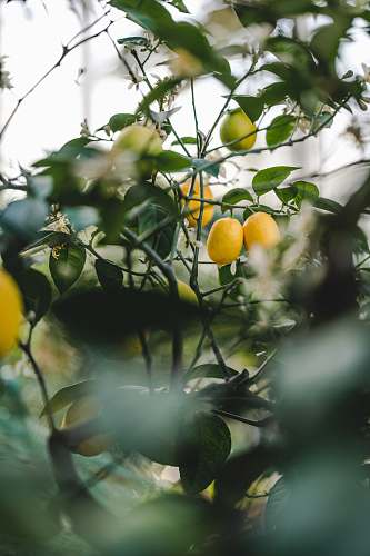 citrus fruit yellow fruit on green leaves during daytime plant