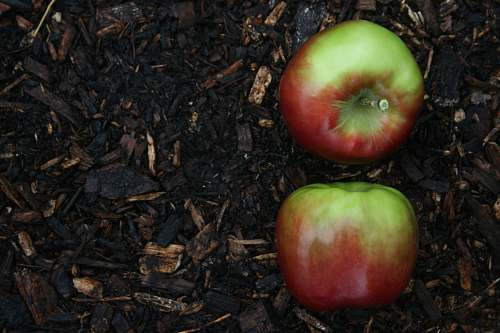 food red and green apple fruit on brown soil Apple