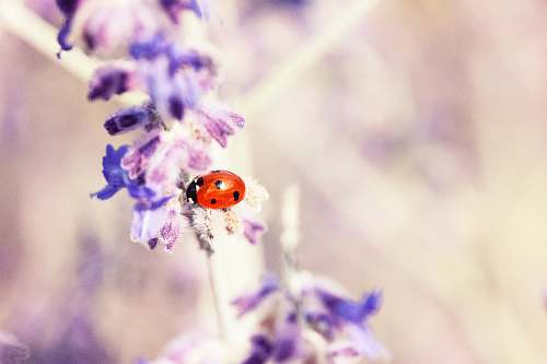 flower red and black seven-spot ladybird perched on purple petaled flower selective focus photography plant