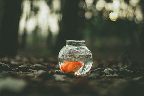 goldfish goldfish in fish tank animal
