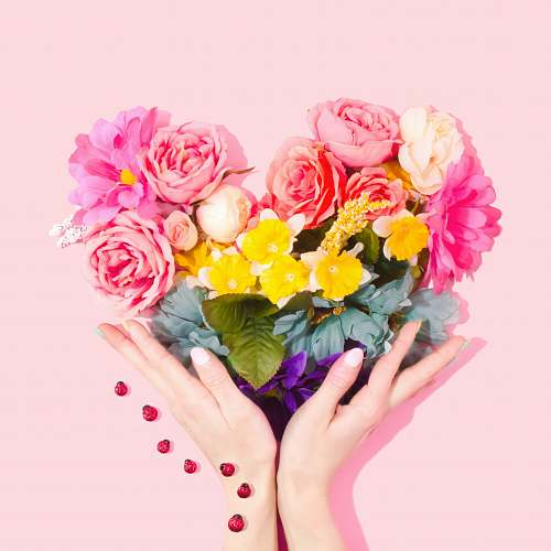 photo pink person holding bouquet of flower blossom free for commercial use images