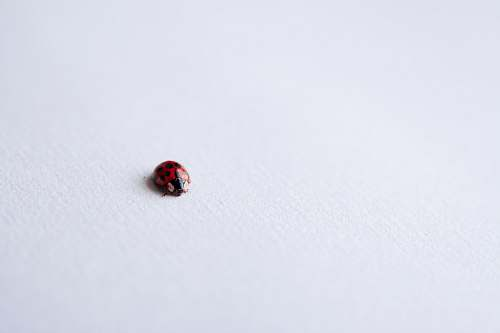 photo brown red ladybug on white surface black free for commercial use images