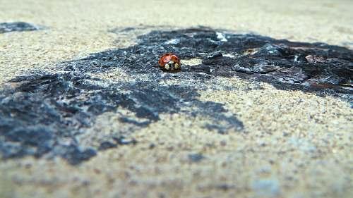 grey Ladybug beetle on ground chicago