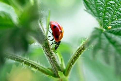 animal red and black ladybug on plant invertebrate