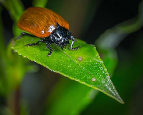 animal selective focused photo of brown and black bug dung beetle