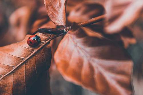 photo human lady bug on brown leaf selective photography person free for commercial use images