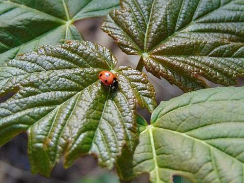 plant ladybug on leaf veins