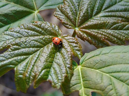 photo plant ladybug on leaf veins free for commercial use images