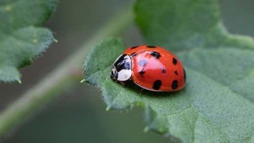 plant macro photography of lady bug on green leaf park of irani - sc -  brazil