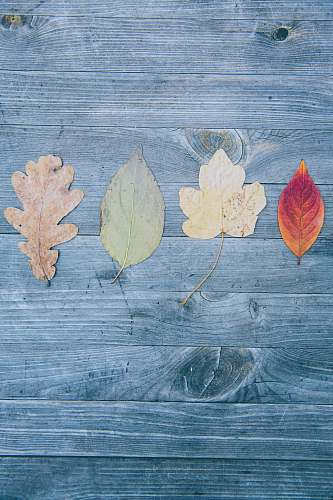 photo leaf four assorted-shape of leaves autumn free for commercial use images