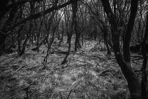 black-and-white leafless trees forest