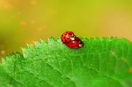 leaf lady bug on leaf animal