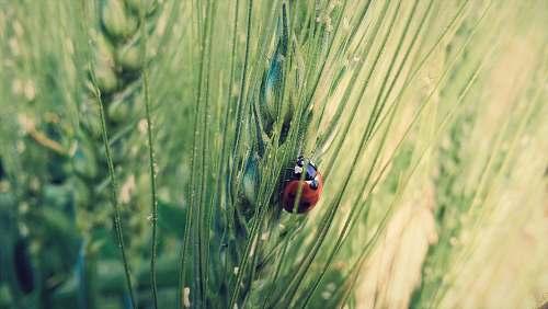 grass ladybird on green grass ladybug