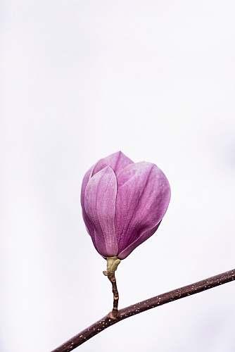 flower pink petaled flower magnolia