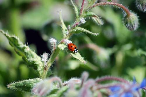 photo sebastopol tilt-shit photography of ladybug on green leaf united states free for commercial use images