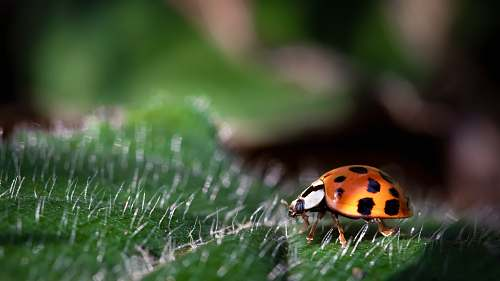 irani closeup photo of ladybug brasil
