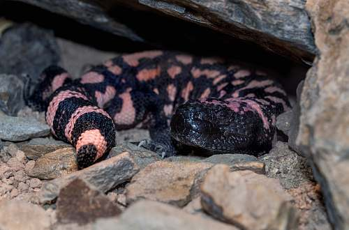 reptile black and pink snake sea life