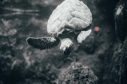 reptile grayscale photography of turtle sea life