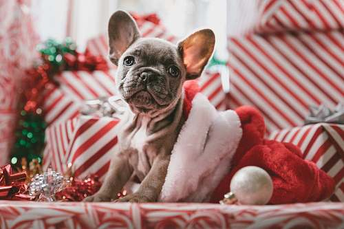 dog brindle French bulldog puppy in Santa hat animal