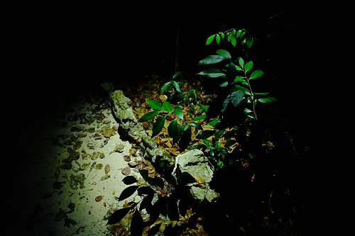 photo leaf green plants beside rocks and brown leaves during night acanthaceae free for commercial use images
