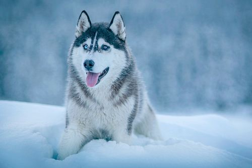 free for commercial use Alaskan Malamute walking on snow field images