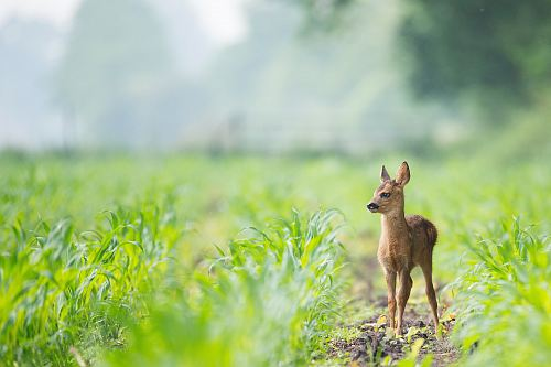photo beige baby deer on brown soil between green grasses at daytime free for commercial use images