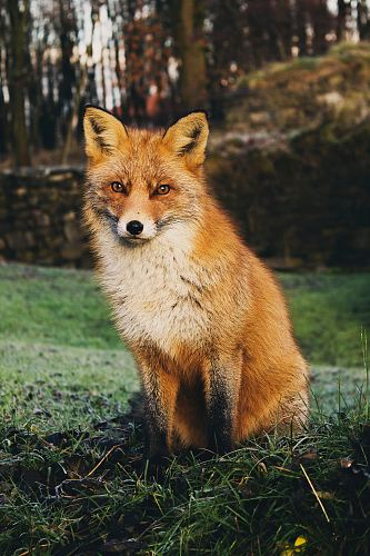 photo brown fox sitting on green grass field during daytime free for commercial use images
