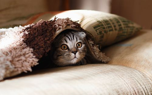 photo brown Scottish fold in brown thick-pile blanket free for commercial use images