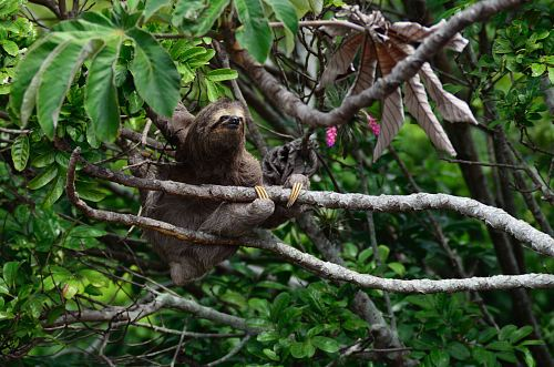 brown sloth climbs tree