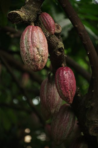 photo cacao fruits free for commercial use images