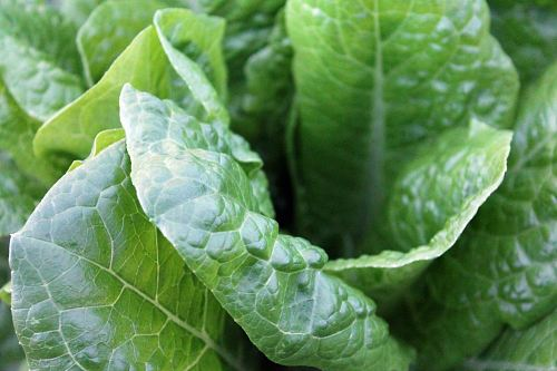 photo closeup photo of green lettuce free for commercial use images