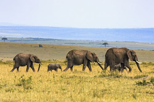 photo five elephants on brown grass free for commercial use images