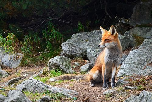 photo fox standing on brown soil with rocks free for commercial use images