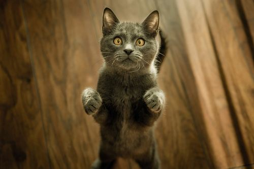 photo gray cat standing in two feet free for commercial use images