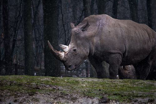 photo gray rhinoceros standing free for commercial use images