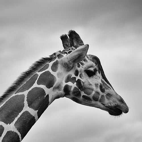 photo grayscale photography of giraffe free for commercial use images