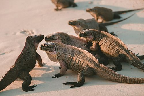 group of comodo dragons