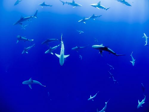 free for commercial use group of sharks under body of water images