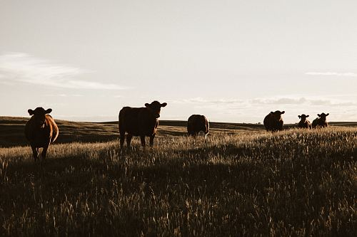 photo herd of cows on grassland free for commercial use images