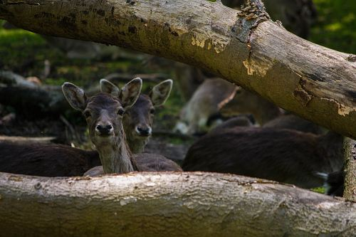 herd of deer under tree log