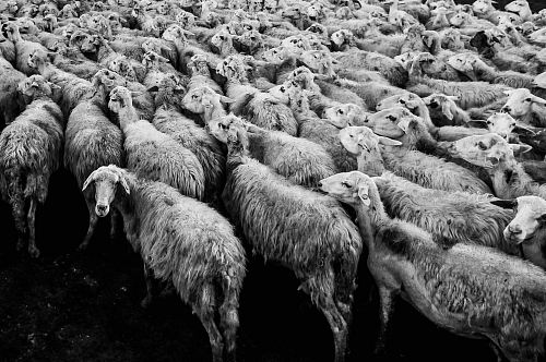 herd of sheep in grayscale photo
