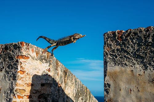 photo iguana about to jump on concrete wall free for commercial use images
