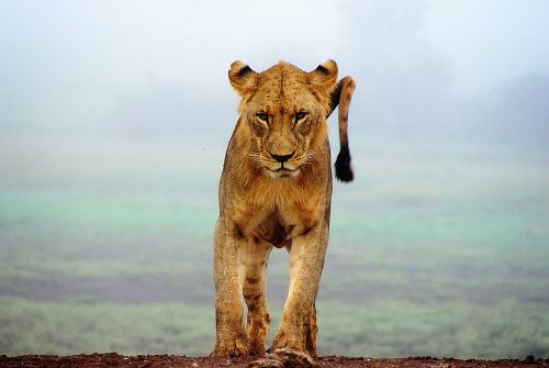 photo lioness standing on brown sands free for commercial use images