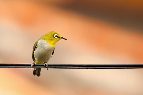 photo macro shot of green and white bird on black electrical cable free for commercial use images