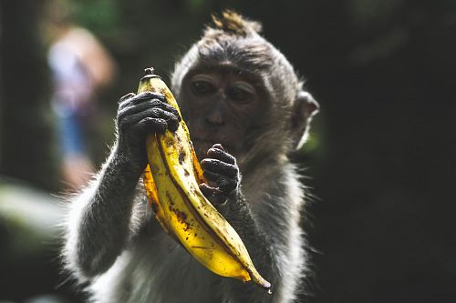 photo monkey holding banana peel during daytime free for commercial use images