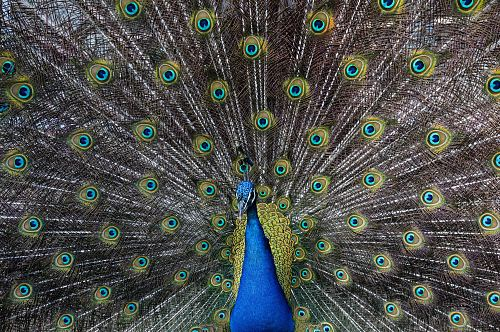 photo peacock wallpaper free for commercial use images