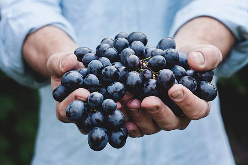 photo person holding grapes free for commercial use images