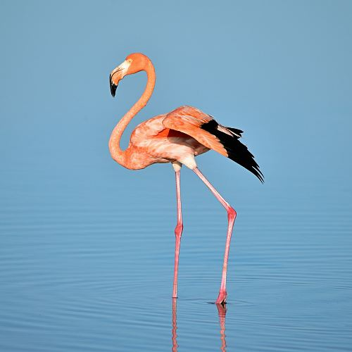 free for commercial use photo of flamingo on water images