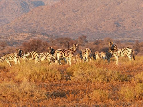 photo photo of herd of zebra on brown grass free for commercial use images
