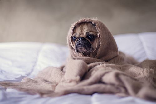 photo pug covered with blanket on bedspread free for commercial use images